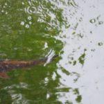 日本の鯉 Japanese carp