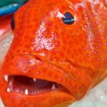 SHARP TEETH! Red Grouper Sashimi – Japanese Street Food in Okinawa
