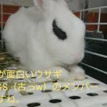 歌舞伎 ウサギ  隈取り  japanese kabuki rabbit funny
