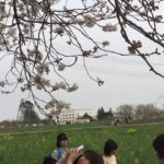 CHERRY BLOSSOM SPRING CULTURE OF JAPAN