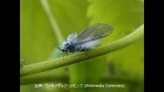 Yukimushi – Learn Japanese !