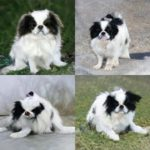 Generating Japanese Spaniel with Deep Learning