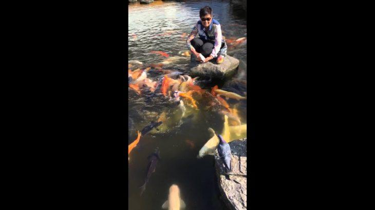Fish feeding during Japanese sightseeing 🇯🇵