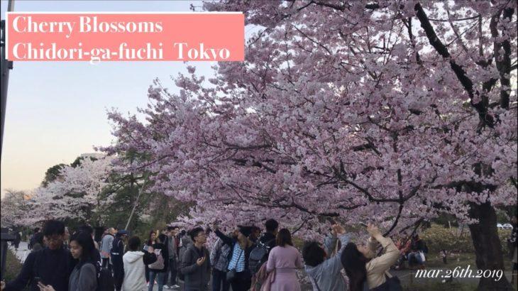 Cherry blossom viewing at Chidori-ga-fuchi, Sightseeing in Tokyo Japan 千鳥ヶ淵