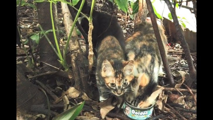 54 Community stray cat eating Japanese food in the jungle社區流浪貓在叢林裡吃日本食物