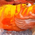 Giant Garish Hind Fish Sashimi  -Japanese Street Food