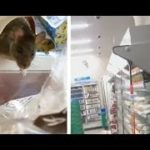 Japanese food store closes,after rats browsing its shelves go viral