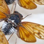 The sound of summer: Cicadas have a special place in Japanese culture