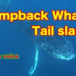 ♯2Humpback whaleザトウクジラJapanese culture and fish
