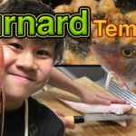 【gurnard/Chelidonichthys】to cut a fish with an edged tool!!! japanese food