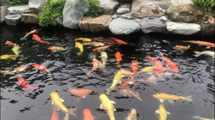 Beautiful Outside Backyard Koi Pond with Japanese Structure Design