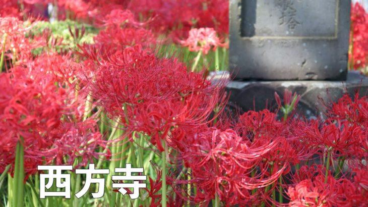 満開の彼岸花(西方寺)/Spider lily in Japan