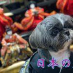 【シーズー】ひな祭り Japanese culture Shih Tzu dog🐶 #Shorts #dog