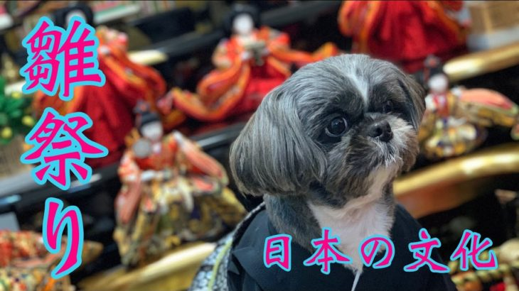 【シーズー】ひな祭り Japanese culture Shih Tzu dog🐶 #Shorts #dog