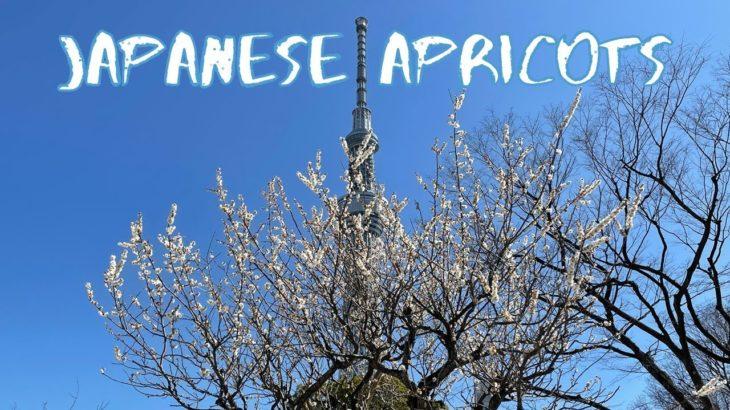 [Vlog] Sumida Park with Japanese Apricots | Tokyo Sightseeing, Japan