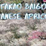 [Vlog] Takao Baigo with Japanese Apricots   Tokyo Sightseeing, Japan