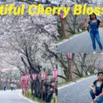 CHERRY BLOSSOM IT IS CONSIDERED THE NATIONAL FLOWER OF JAPAN   SIGHTSEEING   PINAY LIFE IN JAPAN