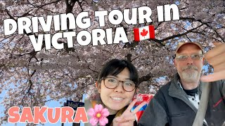 Driving sakura tour! Learning Japanese listening skills 😚 カナダにも桜あるよ🌸