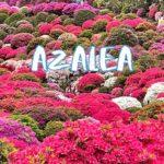 [Vlog] Azalea in Nezu Jinja Shrine | Tokyo Sightseeing, Japan