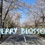 [Vlog] Cycling in Sakura Street (Edogawa-ku) with Cherry Blossoms | Tokyo Sightseeing, Japan