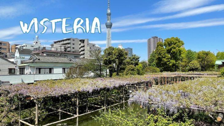 [Vlog] Kameido Tenjin Shrine with Wisteria | Tokyo Sightseeing, Japan