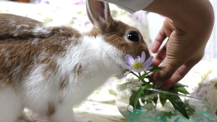 #4K #Cute bunny eating pine flower #funny bunny #Japan