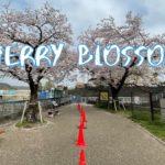 [Vlog] Hamura Shusuiseki with Cherry Blossoms   Tokyo Sightseeing, Japan