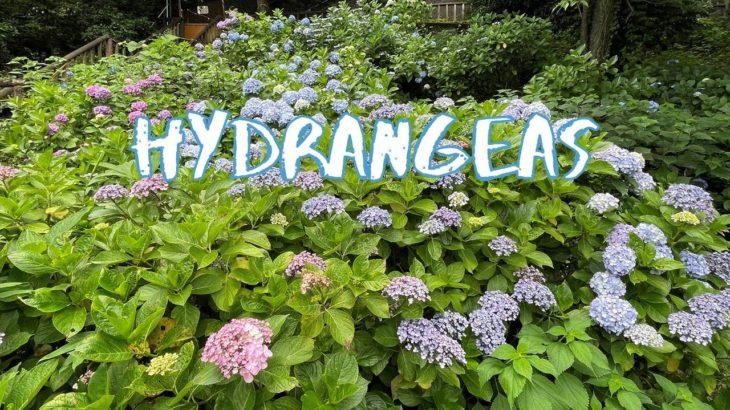 [Vlog] Cycling in Asukayama Park with Hydrangeas | Tokyo Sightseeing, Japan