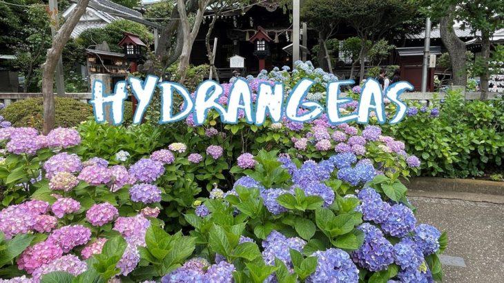 [Vlog] Hakusan Jinja Shrine with Hydrangeas   Tokyo Sightseeing, Japan