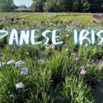 [Vlog] Kitayama Park with Japanese Irises | Tokyo Sightseeing, Japan
