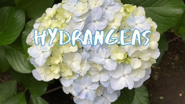 [Vlog] Rikugien Garden with Hydrangeas | Tokyo Sightseeing, Japan