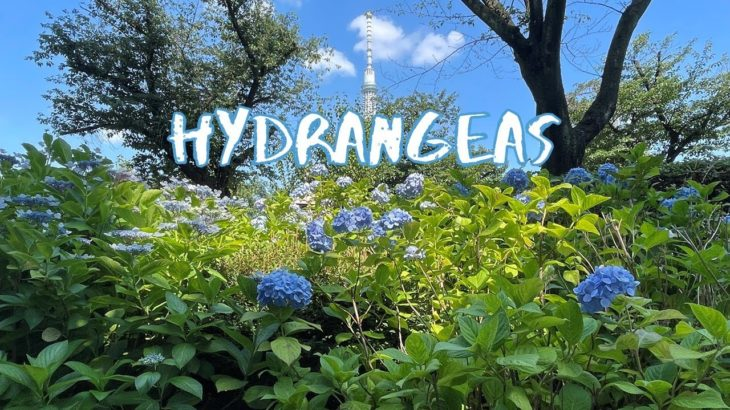 [Vlog] Sumida Park (Asakusa Area) with Hydrangeas | Tokyo Sightseeing, Japan