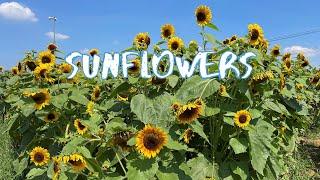 [Vlog] Himawari Garden Musashimurayama with Sunflowers | Tokyo Sightseeing, Japan
