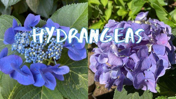 [Vlog] Kodaira Ajisai Park with Hydrangeas | Tokyo Sightseeing, Japan