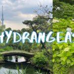 [Vlog] Mukojima-Hyakkaen Garden with Hydrangeas | Tokyo Sightseeing, Japan
