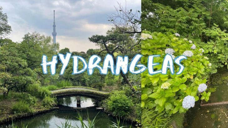 [Vlog] Mukojima-Hyakkaen Garden with Hydrangeas   Tokyo Sightseeing, Japan