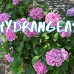 [Vlog] Nakagawa Park with Hydrangeas   Tokyo Sightseeing, Japan