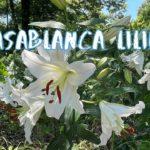 [Vlog] Showa Memorial Park with Casablanca Lilies | Tokyo Sightseeing, Japan