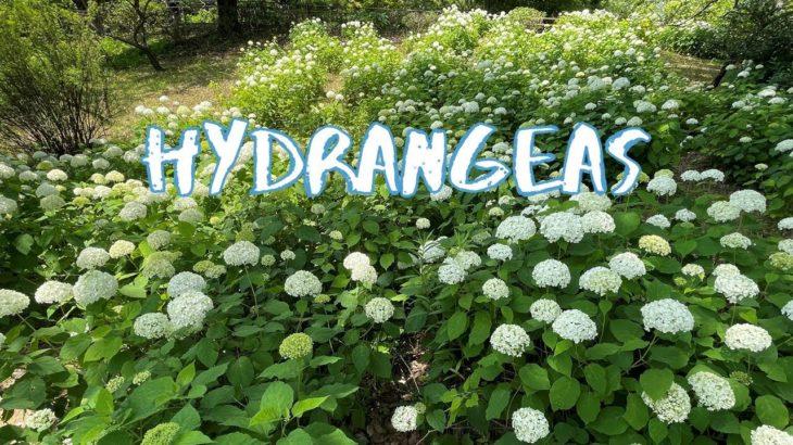[Vlog] Showa Memorial Park with Hydrangeas   Tokyo Sightseeing, Japan