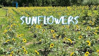 [Vlog] Showa Memorial Park with Sunflowers | Tokyo Sightseeing, Japan