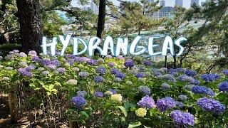 [Vlog] Tamagawadai Park with Hydrangeas | Tokyo Sightseeing, Japan