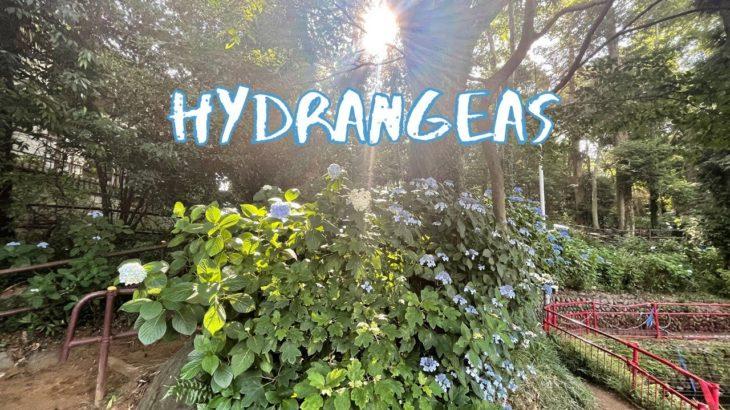 [Vlog] Yabo Tenmangu Shrine with Hydrangeas | Tokyo Sightseeing, Japan