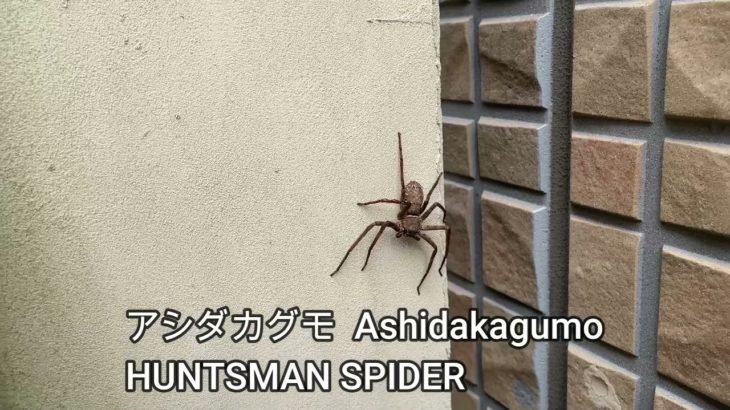 SCARY BUT HARMLESS JAPANESE SPIDER!  MOVE IT IF YOU GOT THE GUTS! アシダカグモ(HUNTSMAN SPIDER)