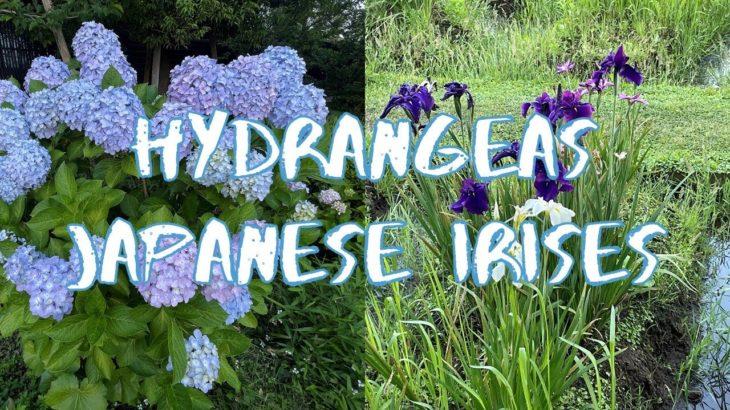 [Vlog] Yokojikkengawa Shinsui Park with Hydrangeas and Japanese Irises   Tokyo Sightseeing, Japan