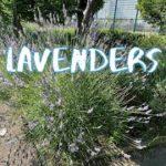 [Vlog] Nagisa Park with Lavenders   Tokyo Sightseeing, Japan